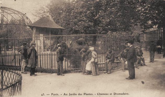 Paris au jardin des plantes - chameau et dromadaire
